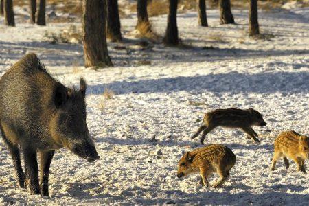 Wild boars hogs - Wildguarder